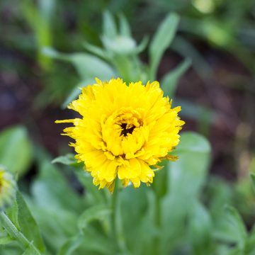 Best Edible Flowers: Calendula