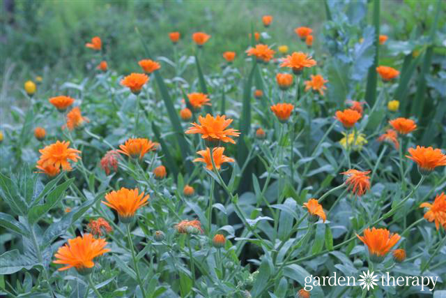 Calendula One of the Top 5 Healing Herbs to Grow in Your Garden