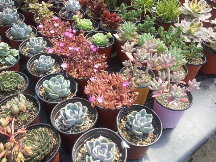 Choosing Succulents and many other tips for how to keep them alive (and thriving!)