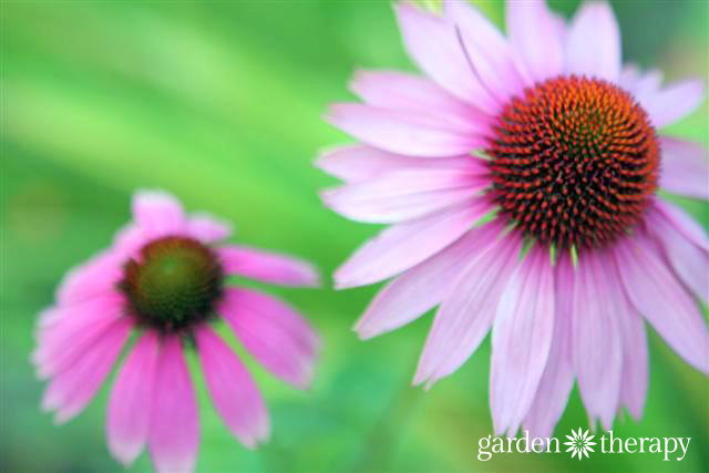 Echinacea One of the Top 5 Healing Herbs to Grow in Your Garden