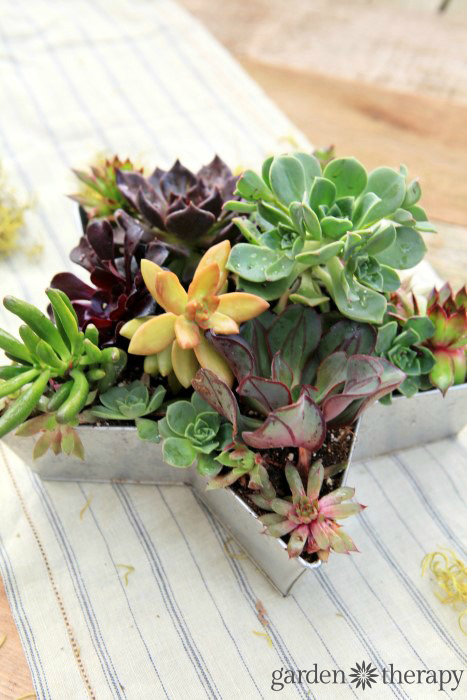Gorgeous succulents planted in a star-shaped planter