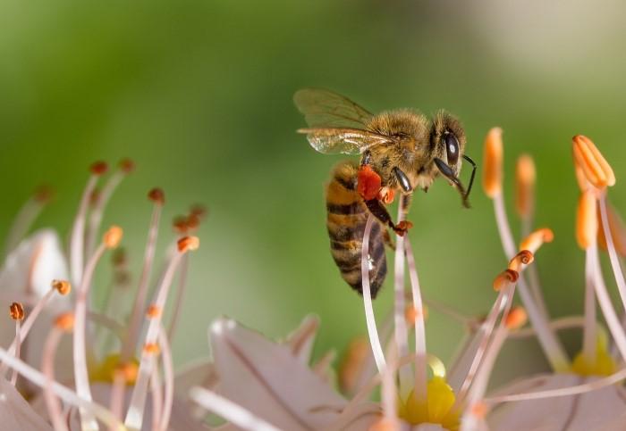 Honey bee with pollen baskets