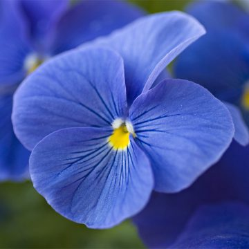 Blue pensy