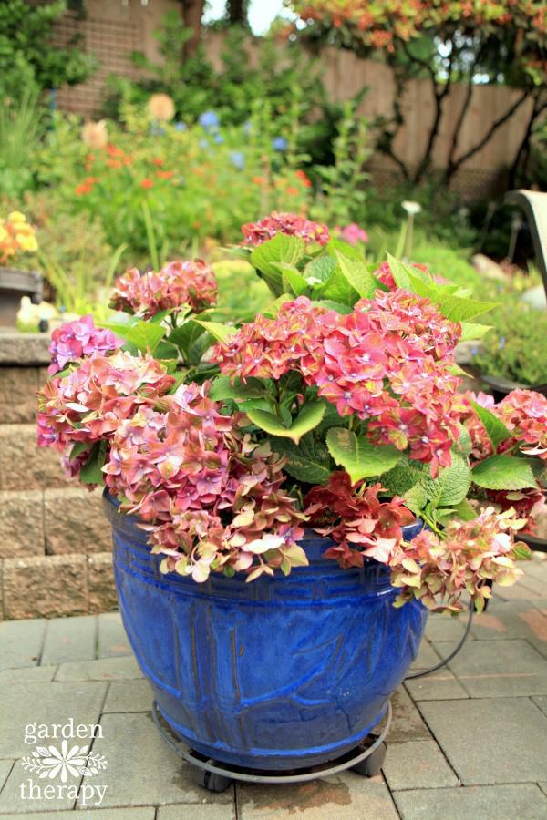 Pistachio Hydrangea in a contaner garden