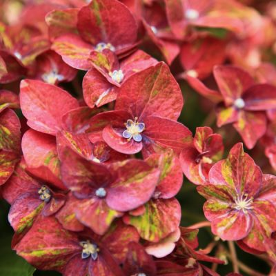 The Essential Guide to Hydrangeas
