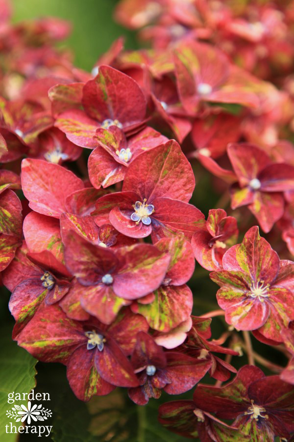 Close up of a pruned pistachio Multi-Color Hydrangea