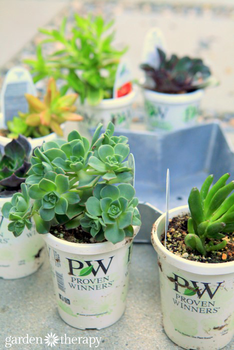 Proven Selections Succulents