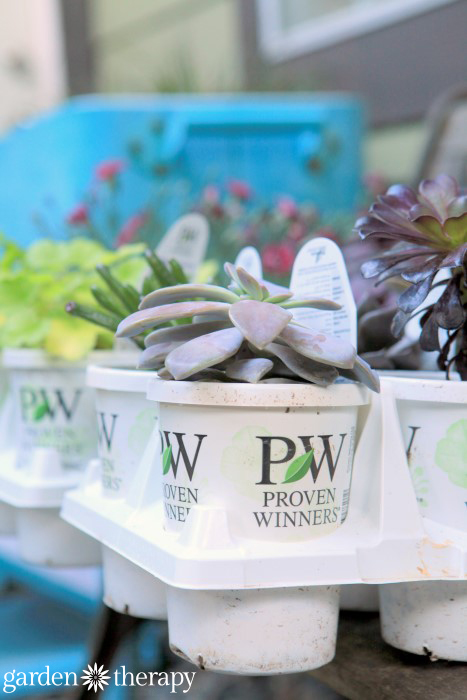 Proven Winners Succulents
