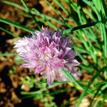 Chives and other alliums produce edible purple flowers