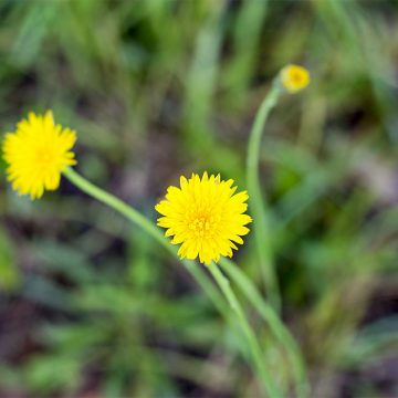 grow an edible flower garden: dandelion