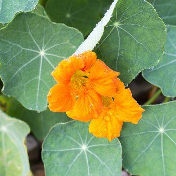Best Edible Flowers: Nastrusium