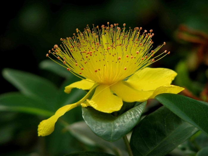 st johns wort - One of the Top 5 Healing Herbs to Grow in Your Garden