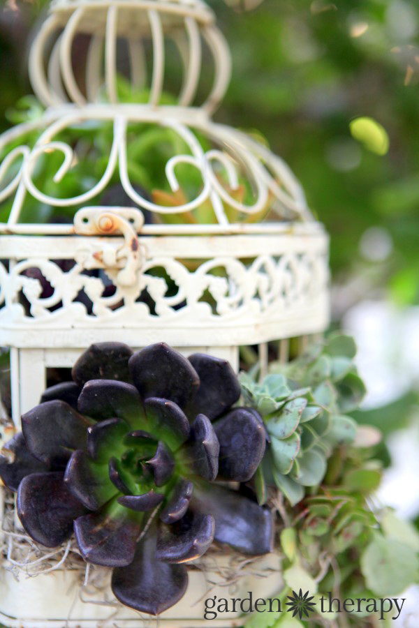Aeonium and other succulents in a Birdcage Succulent Planter