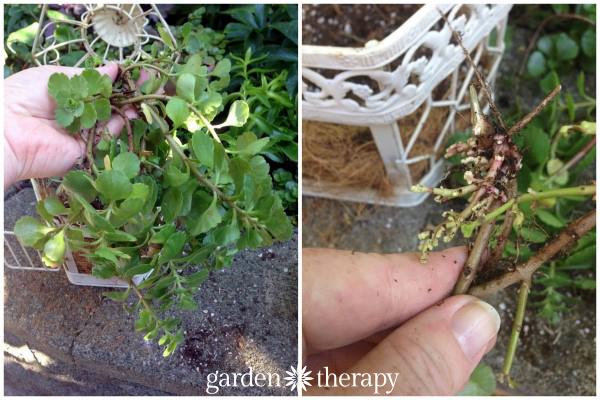 Birdcage Succulent Planter sedum roots