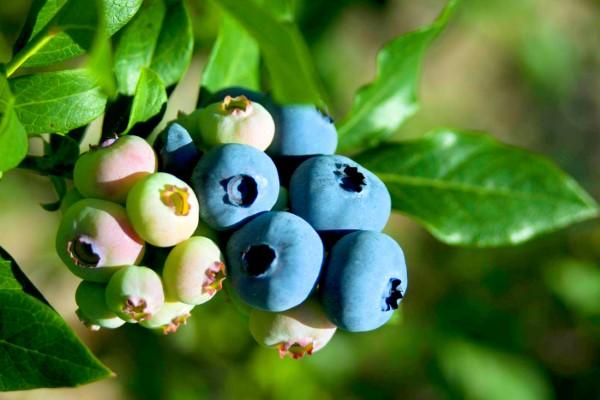 Blueberries Ripening on Bush
