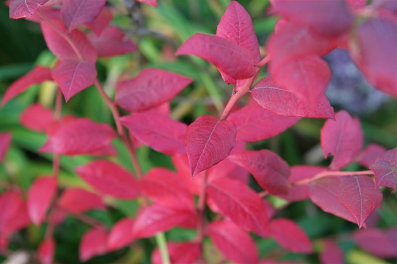 Blueberry Bush Fall Color