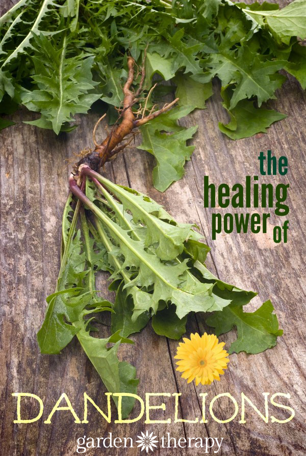 dandelion roots, leaves, and flowers are powerful superfoods