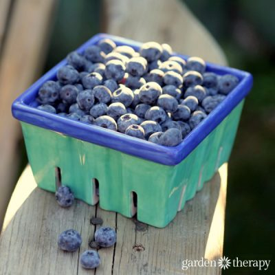 How to Grow and Care for Blueberry Bushes for Buckets of Sweet Blueberries