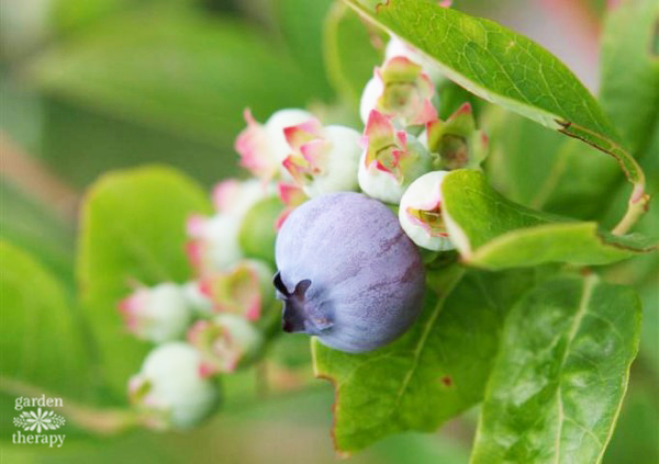 Growing Blueberries at Home