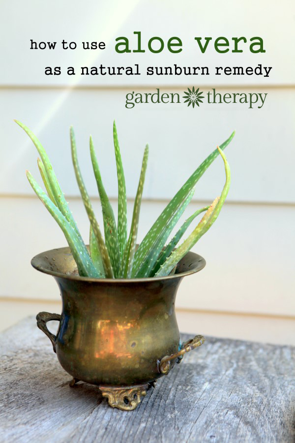Growing aloe vera plants and using them as an anti-inflammatory for the skin, especially for sunburn treatment