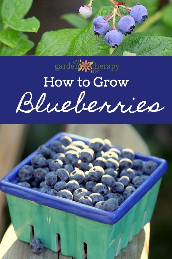 How to Grow Blueberries Organically in the Home Garden