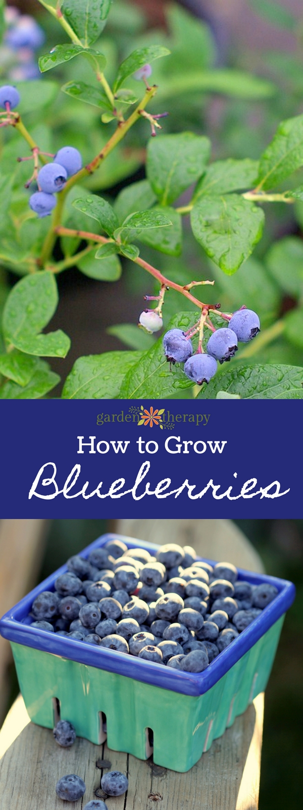 How to Grow Blueberries Organically
