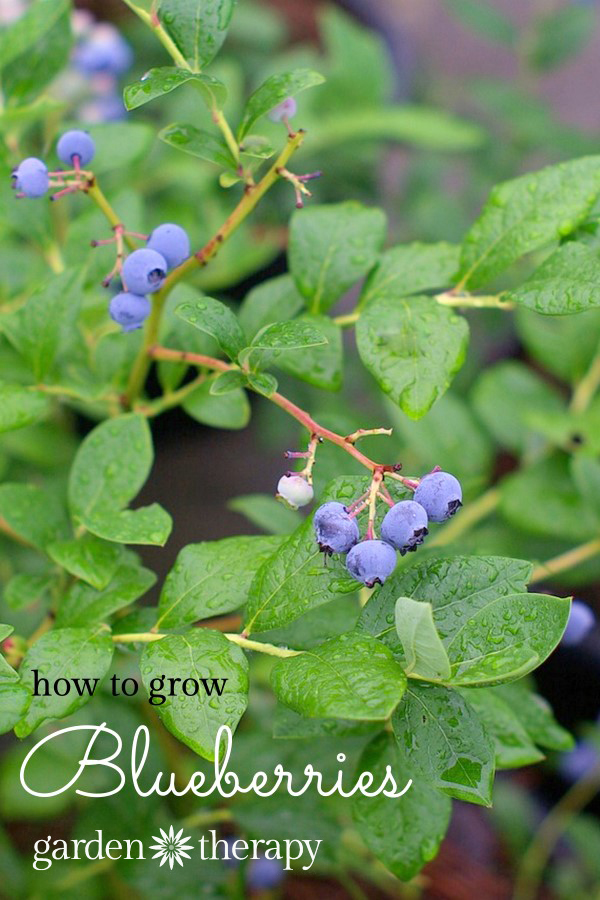 How to Grow Blueberries and a blueberry crisp recipe