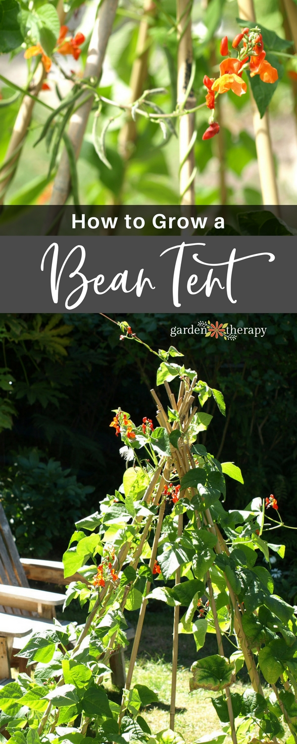An edible bean tent made of bamboo poles and scarlet runner beans plus the DIY instructions on how to make it at home.