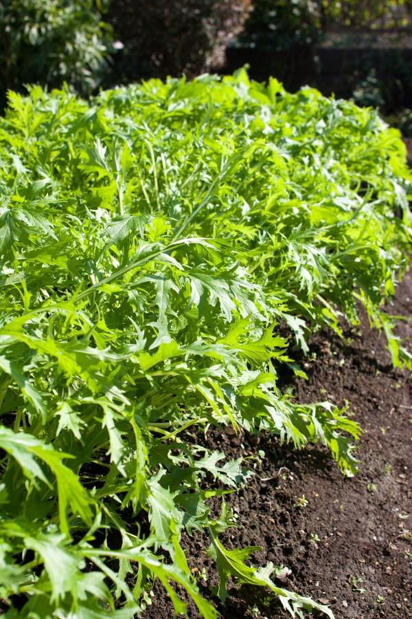 Brassica rapa nipposinica also known as mizuna or kyona