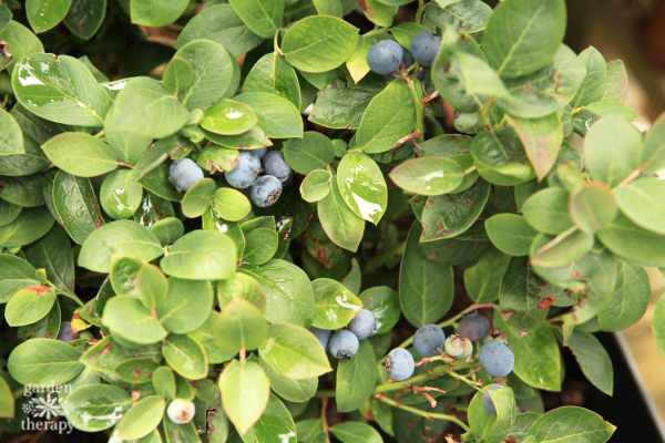 Ornamental Edibles (Blueberries)