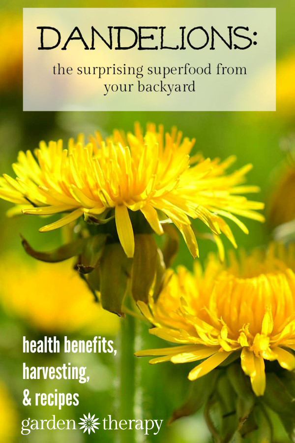 Stop fighting dandelions and celebrate them for the superfood they are!