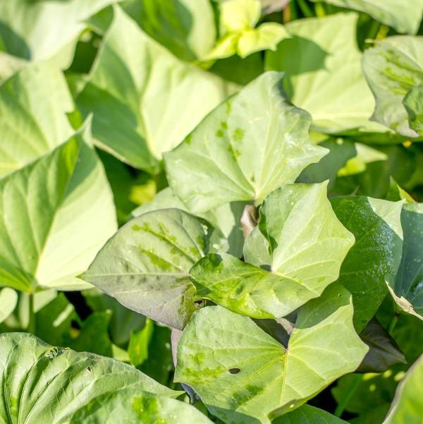 sweet potato leaves salad greens