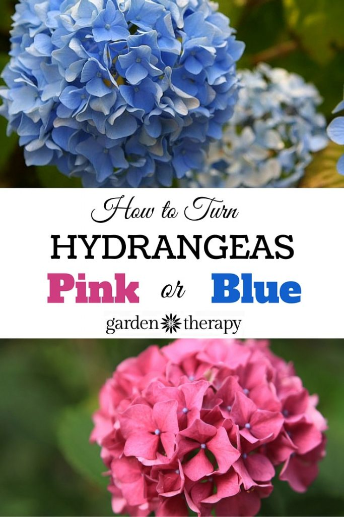 How to Change Hydrangea Color