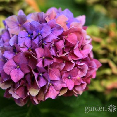 Pretty Pink or Brilliant Blue: How to Make Your Hydrangea Change Color
