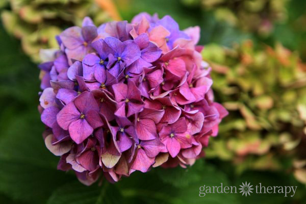 How To Change Hydrangea Color From Pink Or Blue