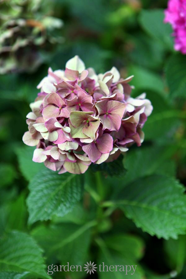 how to get a hydrangea to bloom
