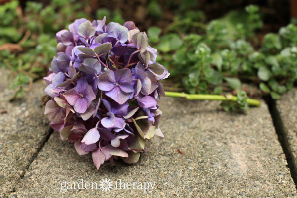 How to dry hydrangea flowers to keep color (5)