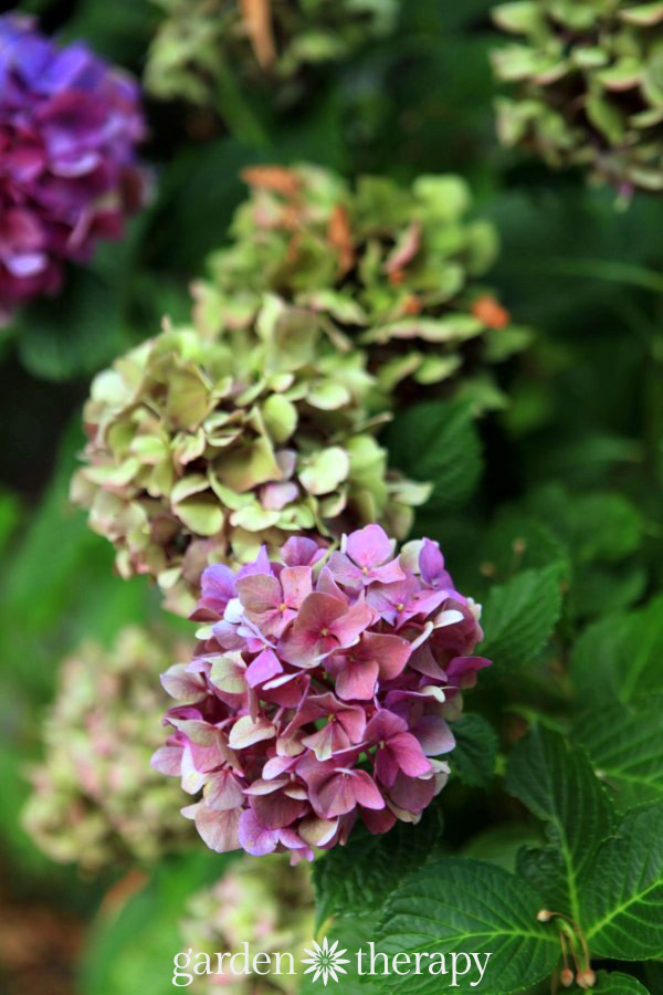 How to dry hydrangea flowers