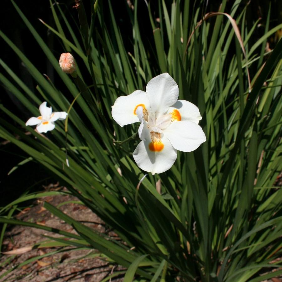 Katrina African Iris