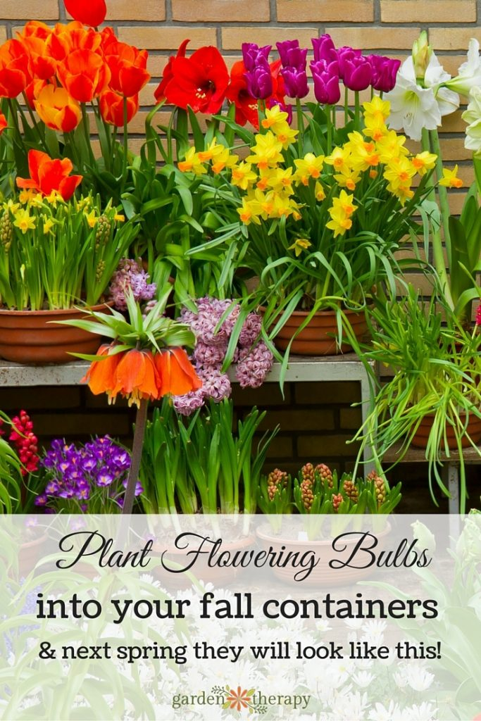 Plant colourful fall bulbs in containers in the fall and next spring that will be gorgeous