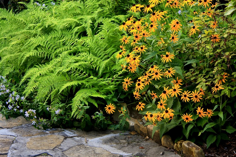 Black Eyed Susans and Ferns