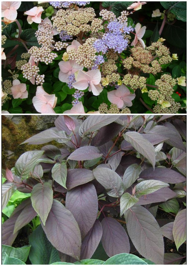 Plum Passion Hydrangea from Monrovia