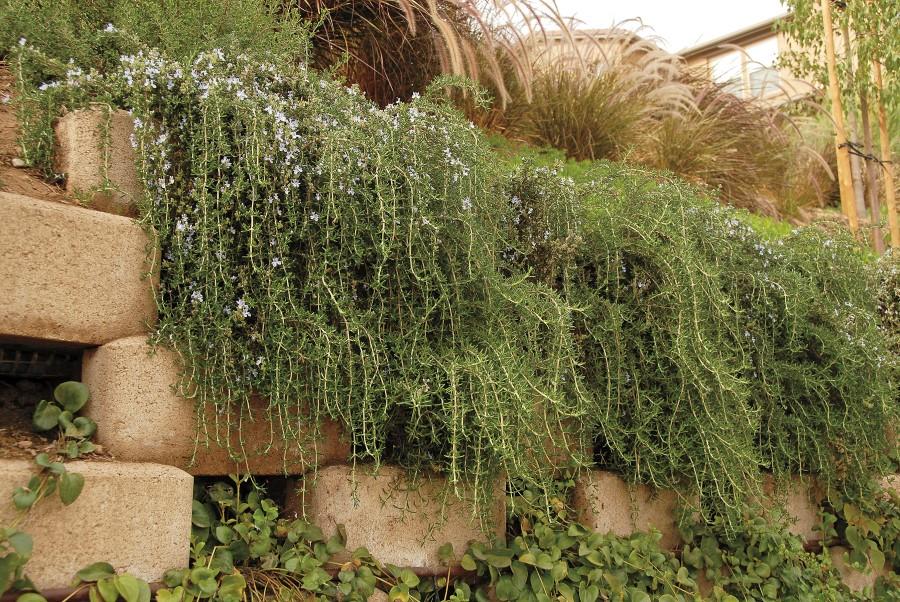 Rosemary rosmarinus officinalis Huntington Carpet