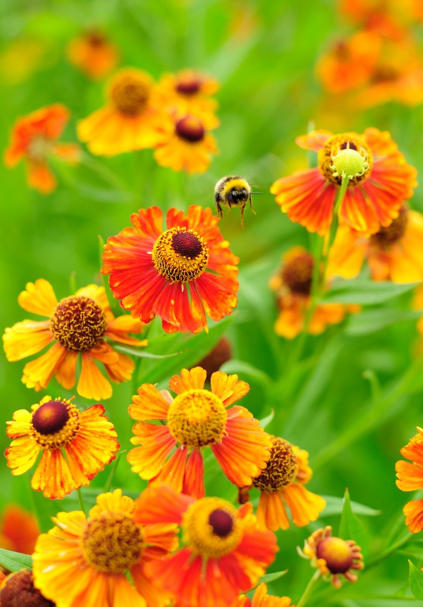 Bee flying away from fall-blooming flowers, sneezeweed