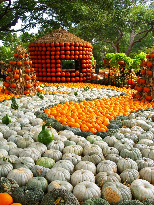 see Autumn at the Arboretum, the fall festival at the Dallas Arboretum that hosts the Pumpkin Village, a small town created with 75,000 pumpkins, gourds and, squash.
