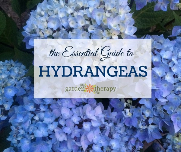 The Essential Guide to Hydrangeas from Garden Therapy