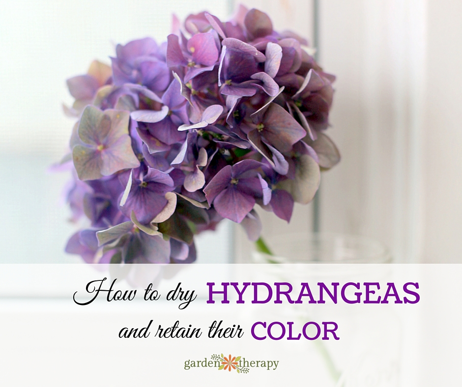 Dry Hydrangea Flowers To Retain Color