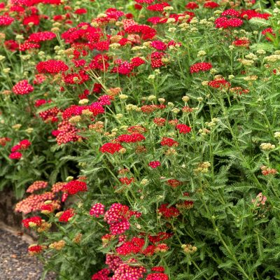 Top 10 Drought-Tolerant Perennials