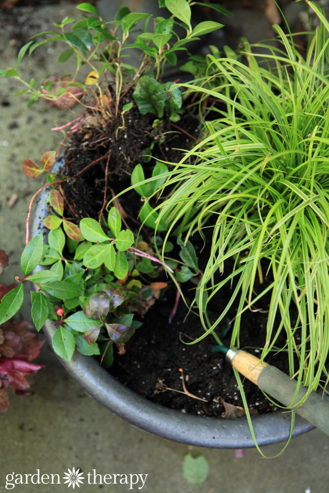 Digging up gautheria in a pot to divide
