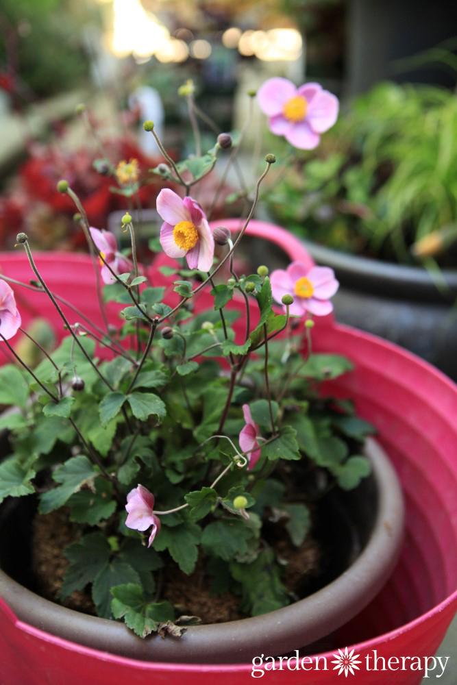 Dividing Perennials To Make More Plants For Your Garden